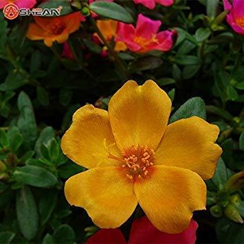 Potseed Eine Packung 200 Stück orange Sun-Blumen-Anlage Balkon Garten Topfpflanzen Blumen-Portulak Samen Scutellaria barbata Seed