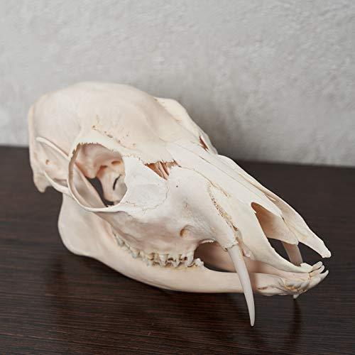 Siberian Musk Deer Taxidermy Skull - Musk-Deer Cleaned Skull, Jaws, Bones, Skeleton, Teeth for Sale - Real, Decor, LIFESIZE, Genuine - ST6688