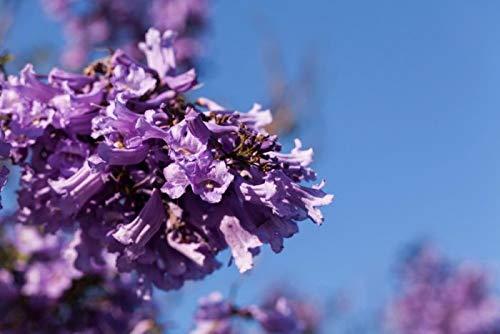 Bleu Jacaranda, flamboyant bleu, graines d'arbres (fleurs spectaculaires, rapide) (60)