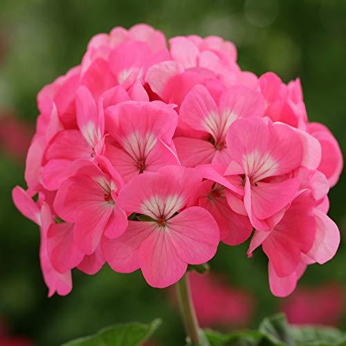 5pcs Couleurs multiples Variétés Géranium Graines Bonsai Pelargonium vivaces Graines de fleurs Hardy Patio Plante Plante en pot bricolage 05