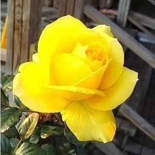 100 Seeds Yellow Rose Flower Seeds Rare Rainbow Rose Flower Lover Plants Home Garden