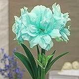 Bulbos Amarilis,Mundialmente Famoso,Plantas Ornamentales,Se Puede Regalar A Amigos,FáCil De Cultivar-2 Bulbos,3
