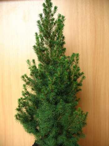 Zuckerhutfichte Picea glauca Conica 70 - 80 cm hoch im 5 Liter Pflanzcontainer