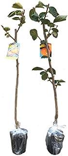 柿 太秋 (タイシュウ) ・ 禅寺丸 (ゼンジマル) 樹高80cm前後 受粉樹2本セット 落葉 果樹 苗木 庭木