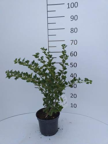 Späth Stachelbeere 'Hinnonmäki grün' Strauch im 3 Liter Topf Beerenobst winterhart süß-sauere Frucht