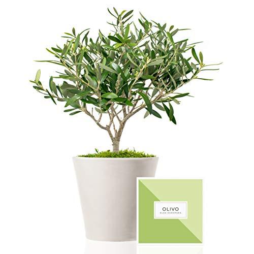 Árbol olivo natural 38 cm prebonsai en maceta de 16 cm diámetro entregado en caja de regalo con tríptico con información y guía de cuidados – Planta exterior – Olea Europaea
