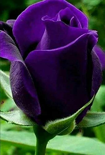 Royal Paradise Garden Purple Violet Rose Flower Plant Home Garden Plant 1 Grafted Rose Live Plant Amazon In Garden Outdoors