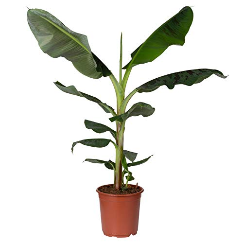 Pflanzen Kölle Bananenpflanze, Musa 'Dwarf Cavendish', Gesamthöhe ca. 70-90 cm