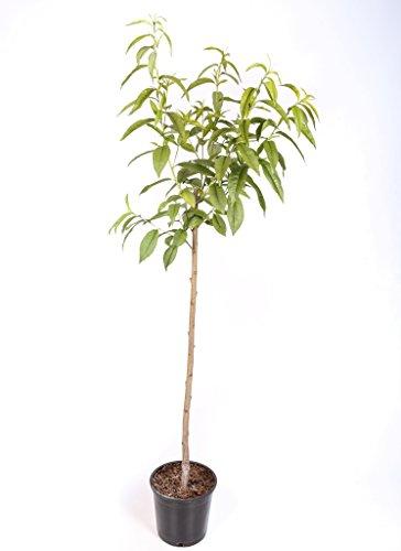 Almendro - Maceta 26cm. - Altura aprox. 1'20m. - Planta viva - (Envíos sólo a Península)