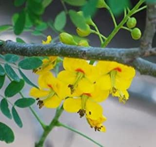 Mexican Bird of Paradise Seeds (Caesalpinia mexicana) 5+ Rare Seeds + FREE Bonus 6 Variety Seed Pack - a $29.95 Value! Packed in FROZEN SEED CAPSULES for Growing Seeds Now or Saving