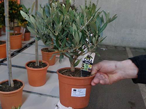 Olea europea Olive im Topf gewachsen Olivenbaum Bonsai-Rohware 35 cm 1 Stück