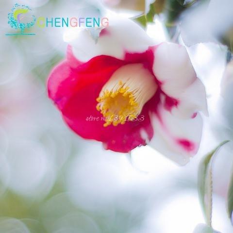 50 Pcs / sac coloré Camellia Semences Semences Incroyable fleurs Diy Plantes d'intérieur en pot semences / Pot d'extérieur Germination taux de 95%