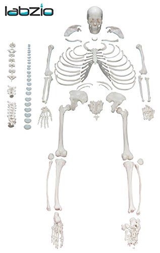 Best human bone set for medical students