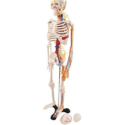 """Menschliches Anatomie Skelett 85 Cm, Anatomie Modell """"Menschliches Skelett"""