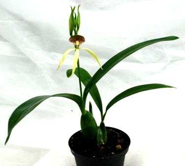 1 blühfähige Orchidee der Sorte: Encyclia Green Hornet, 9cm Topf