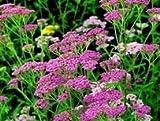 JustSeed Rote Schafgarbe, Achillea'Cerise Queen', Blumen, 1000 Samen