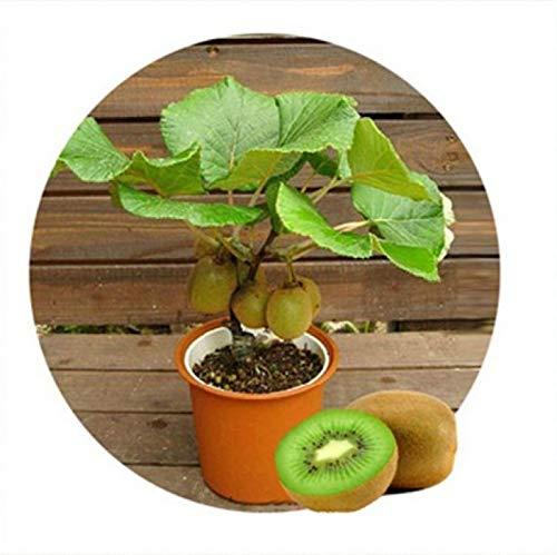 100 Graines / Pack, iwi Fruit Graines Plantes en pot Mini Arbre Nutrition isRich Arbres fruitiers Belle Bonsai Kiwi Seed Peach