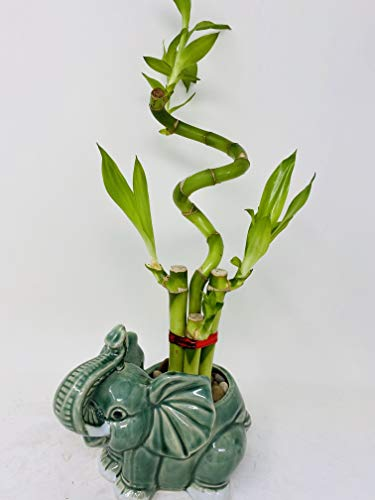 jm bamboo-Lucky Bamboo - indoor house plant bring good luck and Elephant vase good Feng Shui