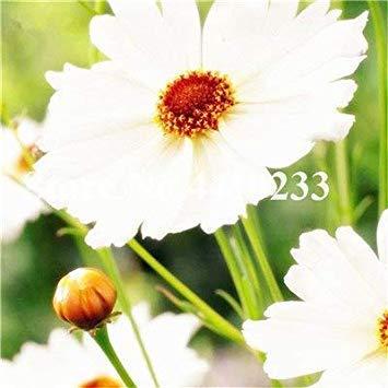 . 100 Stück Exotische Daisy Pflanzen Bellis perennis Chrysanthemum Seltene Blumen für Hausgärten Outdoor-Anlage Blumen 20 Farben: 3
