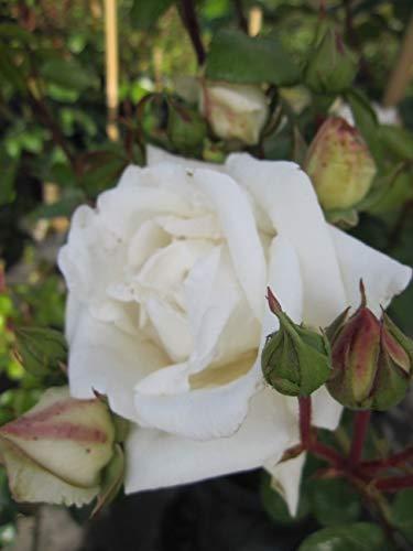 Kletterrose White New Dawn® - Rosa...