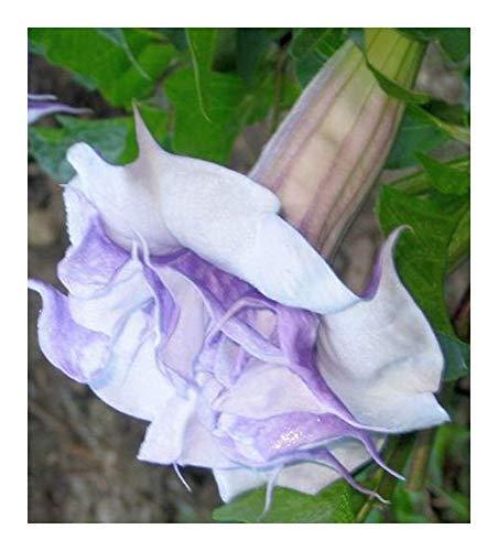 Datura aquamarine - Engelstrompete - Stechapfel - 10 Samen