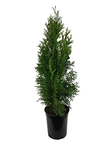 10 best thuja emerald green tree for 2020