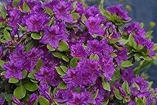 Azalea Japonica Geisha Purple 3 Plants in 9cm Pots