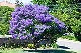 Nueva Jacaranda Mimosifolia - Jacaranda, Jacaranda Mimosifolia, árbol floreciente Azul, 10 + Semillas!