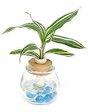 「セラハイト ミニ観葉植物 各種」と 「ガラス製容器 『タマビン』」 1個セット 【2個買いでお得】【土なし 清潔 水やり簡単 セラハイト】