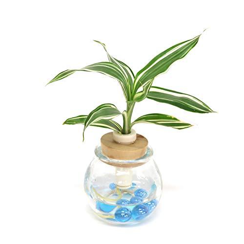 ミニ観葉植物「ドラセナ・サンデリアーナ・ビクトリー」と 「ガラス製容器 『タマビン』 1個セット 【2個買いでお得】【土なし 清潔 水やり簡単 セラハイト】