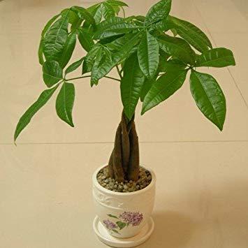 VISTARIC Bonsai-Pflanzen 10 Stück/Pack, Cowpea Küche, Terrasse, Garten Chrysantheme bittere Kräuter Salat Bio-Gemüsesamen