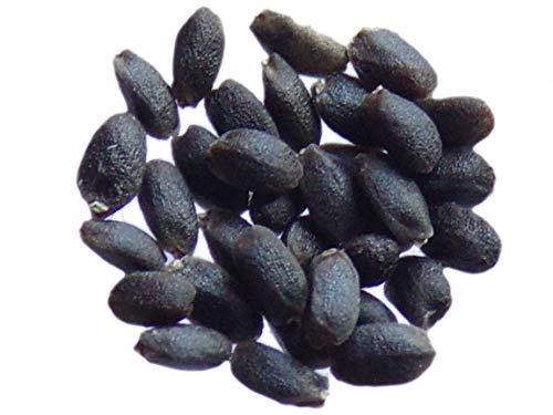 Basilic Citron - 0,25 grammes - Ocimum Basilicum - Basil - SEM24