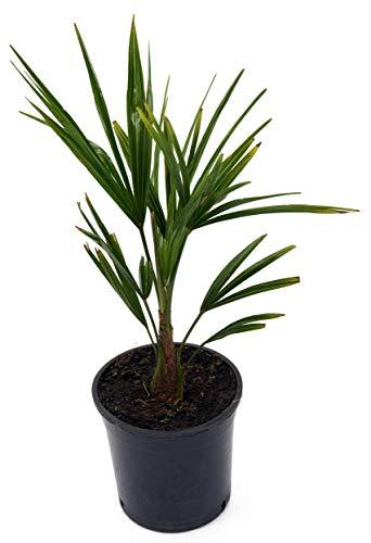winterharte Chinesische Hanfpalme (Trachycarpus fortunei) (30-40cm hoch)