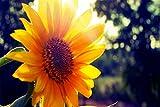 Sunflower Sunshine 3D Jigsaw Puzzle 1000 Piece,Ensamblado De Madera Diy Diy Assembly Toys Para Niños,Rompecabezas De Madera Regalo De Madera