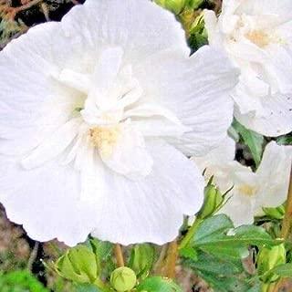 30 White Chiffon Rose of Sharon Seeds - Hibiscus syriacus