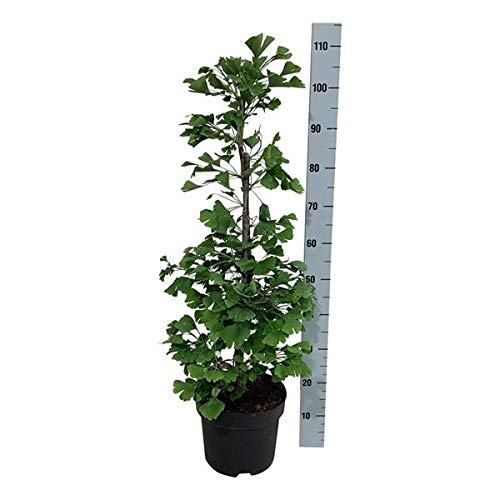 Ginkgo Baum - 70-80 cm - Ginkgo biloba - Älteste Baumart der Welt