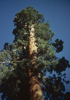 Kalifornischer Mammutbaum im Topf 15 - 30 cm