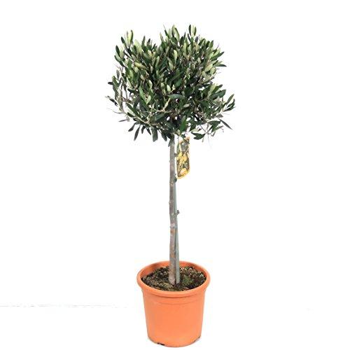 Blumen-Senf Olivenbaum 100-120 cm - Olea europaea essbare Oliven