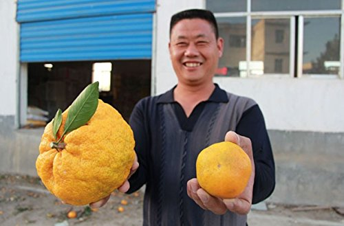 20pcs / sac Balcon Patio Potted Fruitiers Graines Plantées Kumquat Graines d'Orange Seeds Tangerine Citrus