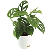 Air Purifier and easy to grow plant. Grow this great vining houseplant that is characterized by dark green heart-shaped leaves. Watering Schedule - Every alternate day. Plant height - 6 to 12 inch Natural Plant with Self Watering Pot.