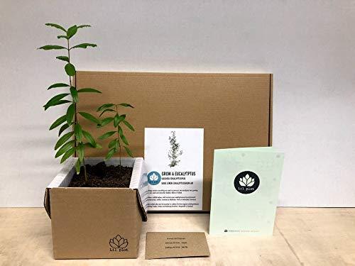 Lil plot | Eukalyptusbaum Anzuchtset | Grow your own Eucalyptus tree | Wachstumsgarantie | Growth guarantee