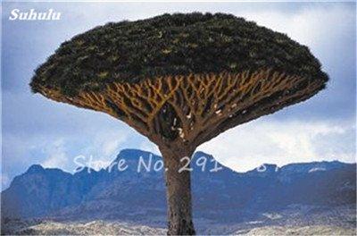 Livraison gratuite 10 Pcs rares Dracaena arbre alpiste Tree Island sang (Dracaena draco) Jardin des plantes voyantes, exotiques 8 Diy