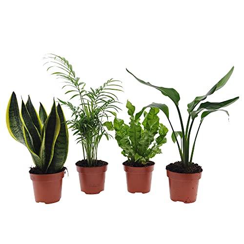 Mix di 4 piante di facile cura | Sansevieria trifasciata, Chamaedorea elegans, Strelitzia reginae, Asplenium nidus | Piante verdi da interni | Altezza 25-50cm | Vaso Ø 12cm