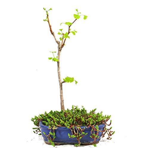 Ginkgo biloba, bonsái para exterior, 8 años, altura 25 cm