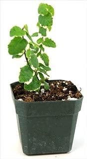 Ficus pumila Variegata 'Creeping Fig'