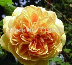 Yellow Celebration Rose d'or aromatiques 100 graines de fleurs