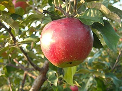 """Fuji Apple"" Fruit Tree Seeds, 10 Premium Quality Tree Seeds,70-90% Germination in Good Conditions, Malus pumila 'Fuji', (Isla's Garden Seeds)"