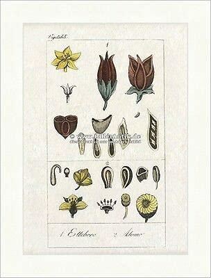 Kunstdruck Christrose Elleboro Alismo Nieswurz Blüten Samen Hahnenfußgewächse Buffon 396