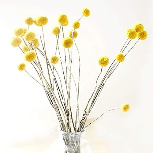 30 Stiele/Pack, getrocknete Echte, natürliche Craspedia Blumen, Billy Button Bälle, 50 cm hoch