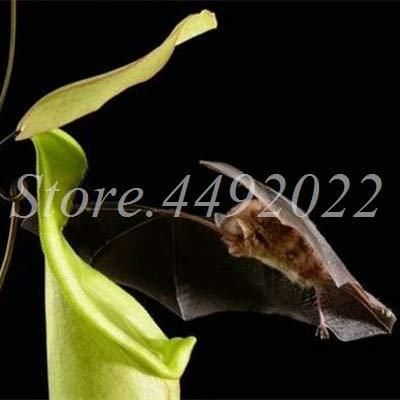 AGROBITS 300 pièces rayées Nepenthes Bonsai Manger moustiques Plantes carnivores Pitcher Tropical Catch Jardin des insectes pour Flower Pot en pot: 19